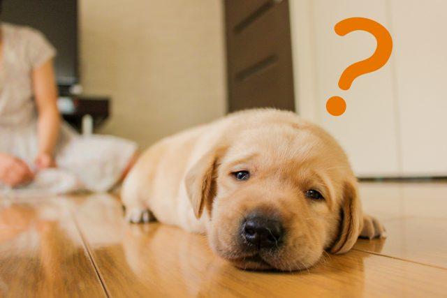 フローリングに寝転ぶ犬